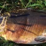 Spiegelkarpfen (69 cm) angeln mit Maiskette [Fangbericht]
