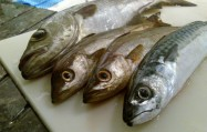 3 Pollacks und eine Makrele