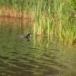 Wasservogel am Angelhaken – Was machen bei Ente, Haubentaucher und co.?
